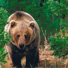 В Росії ведмідь відгриз руку чоловікові, який намагався його погодувати (відео)