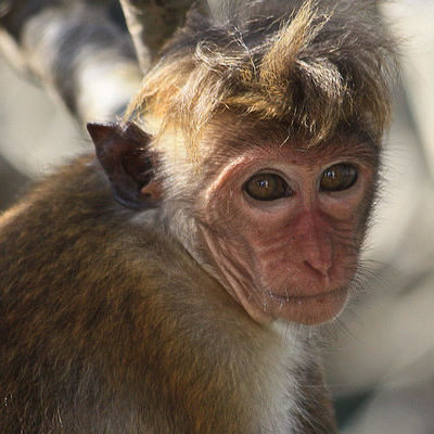 В індійському лісі знайшли 12 мавп, які померли від серцевого нападу (фото)