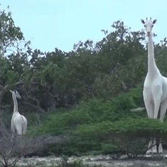 У Кенії знайшли унікальних білих жирафів (фото, відео)