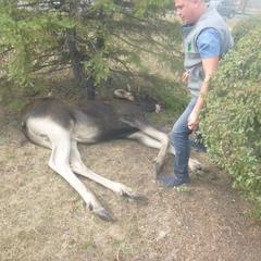 У Києві біля станції метро «Петрівка» врятували лося, який заблукав (фото)