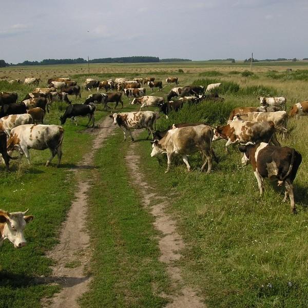 На Житомирщині корова забила на смерть 55-річну жінку-пастуха (відео)