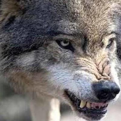У Греції туристку загризли вовки