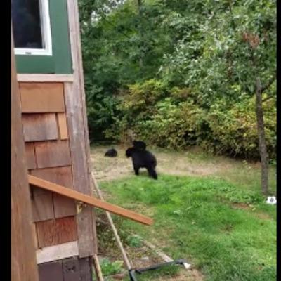 Ввічливий канадець попросив ведмедів піти з його двору. Вони пішли (відео)