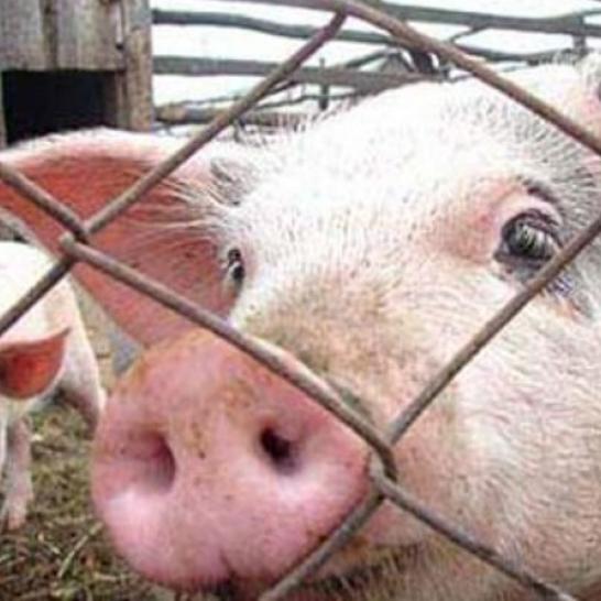 15 областей України потрапили в карантинну зону через африканську чуму свиней