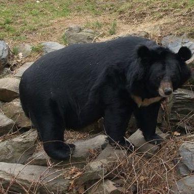 В США ведмеді пробрались у піцерію щоб поїсти ковбаси (відео)