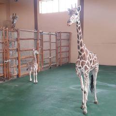 У Києві в приватному зоопарку показали відео із новонародженим жирафеням