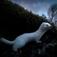 «Очікування зими»: фото горностая перемогло на фестивалі фотографій дикої природи