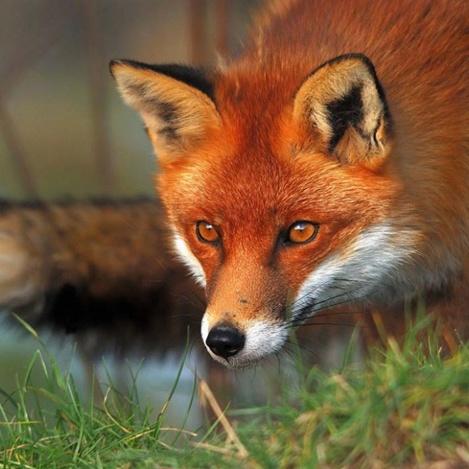 У Києві виявили сказ: лисиця покусала кота, а кіт - господаря