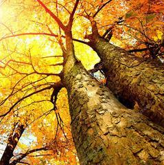 Під Києвом через падіння дерева загинула жінка