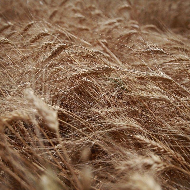 Цьогоріч в Україні намолотили понад 52 мільйони тонн зернових