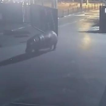 Гіпопотам втік із зоопарку в Тель-Авіві, але потім повернувся (відео)