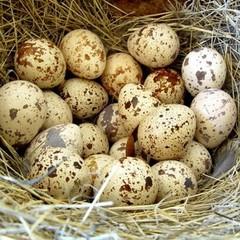 У перепелиних яйцях в рази більше вітамінів та мікроелементів у порівнянні з курячими