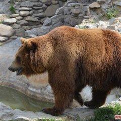 На Львівщині провели 5-годинну спецоперацію із порятунку ведмедів, які пробули у вольєрі 15 років (відео)
