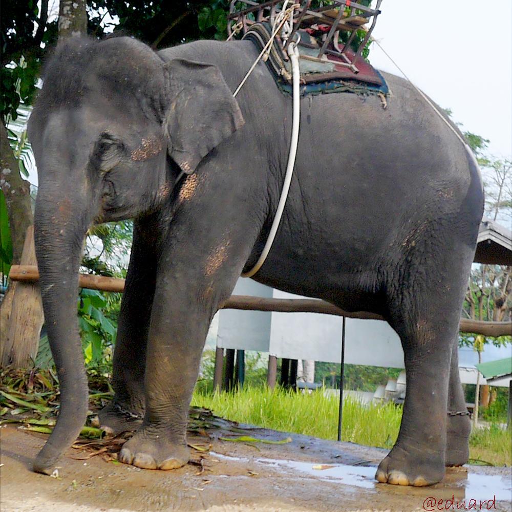 У Таїланді слониха вбила господаря і сховала тіло під гілками