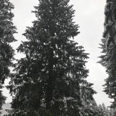 В Кишеневі встановлять різдвяну ялинку з українських Карпат