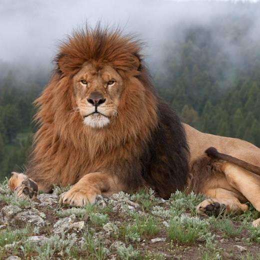 У Кривому Розі в цирку-шапіто помер лев