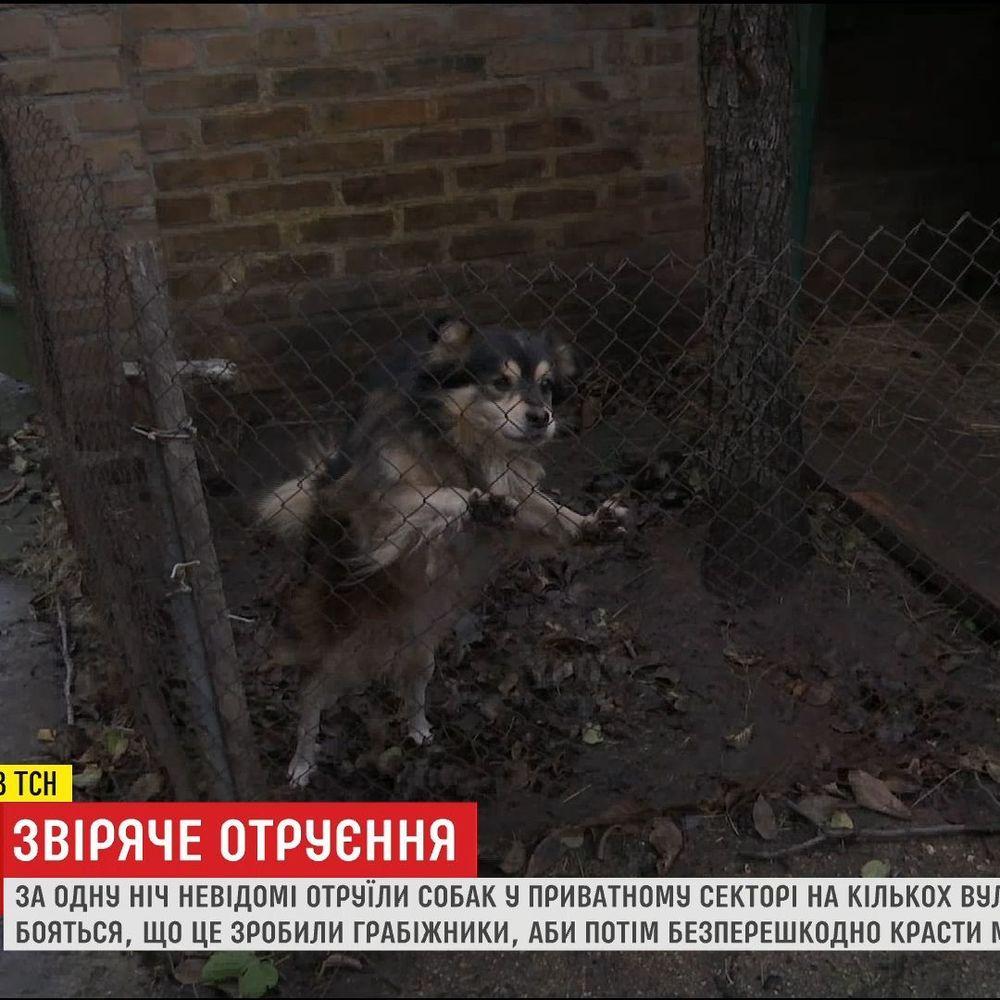 У Кропивницькому невідомі отруїли собак, які охороняли будинки на кількох вулицях (відео)