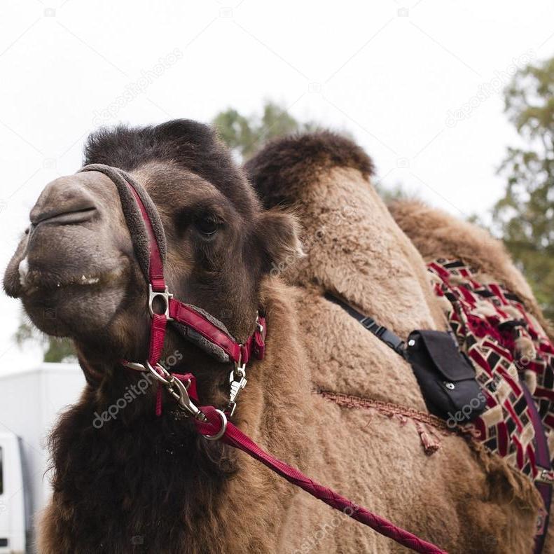 Цирк поїхав, верблюд лишився: на Тернопільщині мандрівний цирк залишив тварину на стадіоні (фото)