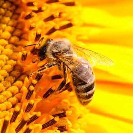 До ВР подали проект закону, який передбачає кримінальну відповідальність за отруєння бджіл
