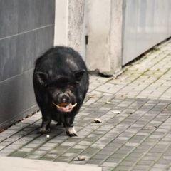 В центрі Донецька із бару втекла свиня (фото)
