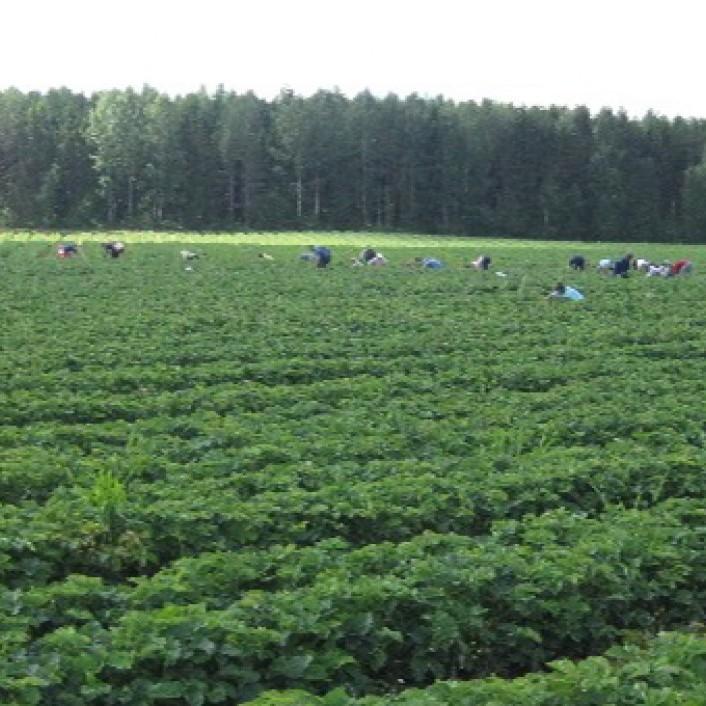Сучасне кріпацтво у Польщі: українці терплять жахливі умови праці