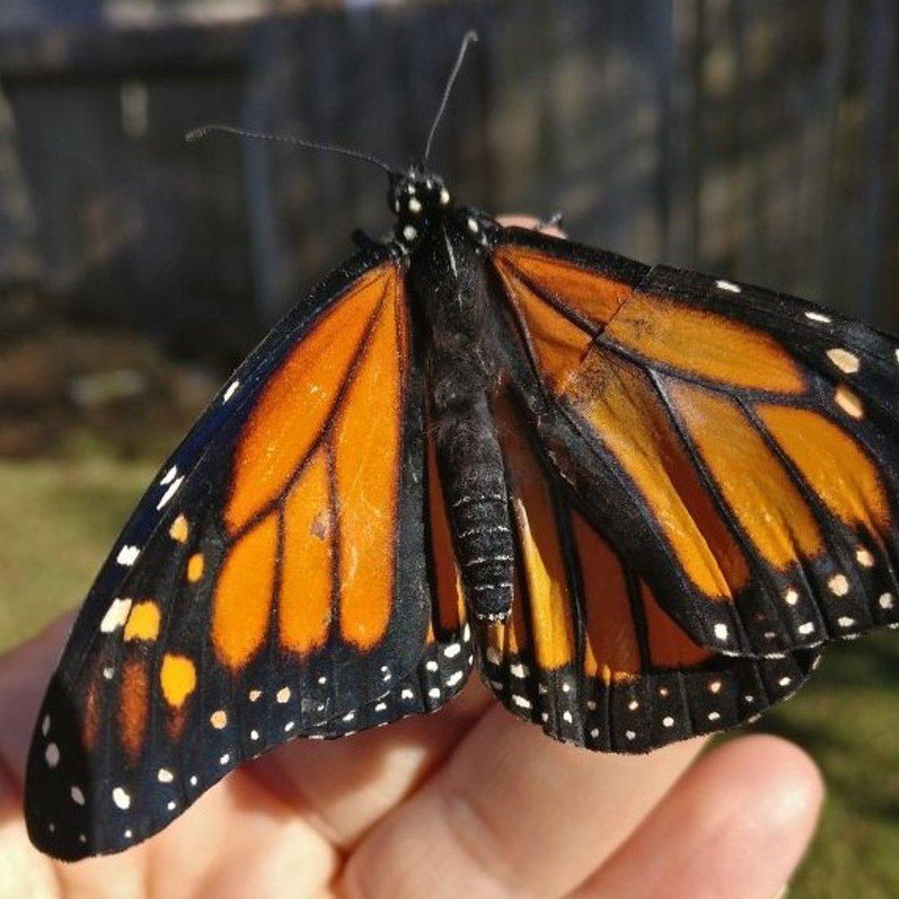 Дівчина з Техасу пересадила метелику крило і він зміг літати (фото)