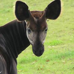 У Лондоні в зоопарку новонародженого жирафа назвали на честь нареченої принца Гаррі (відео)