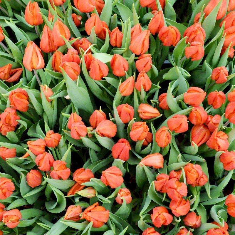В Амстердамі роздали 200 тисяч тюльпанів (фоторепортаж)