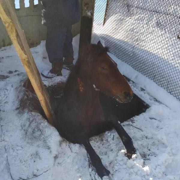 На Львівщині рятувальники витягли коня, що впав у каналізаційну яму (фото)