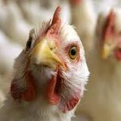 АМКУ допускає цінову змову на ринку м'яса птиці