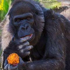 В США померла одна з найстарших горил у світі