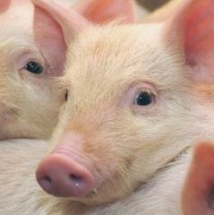 На Полтавщині виявлено вірус африканської чуми свиней