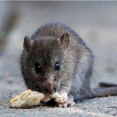 Після повені Париж заполонили щурі