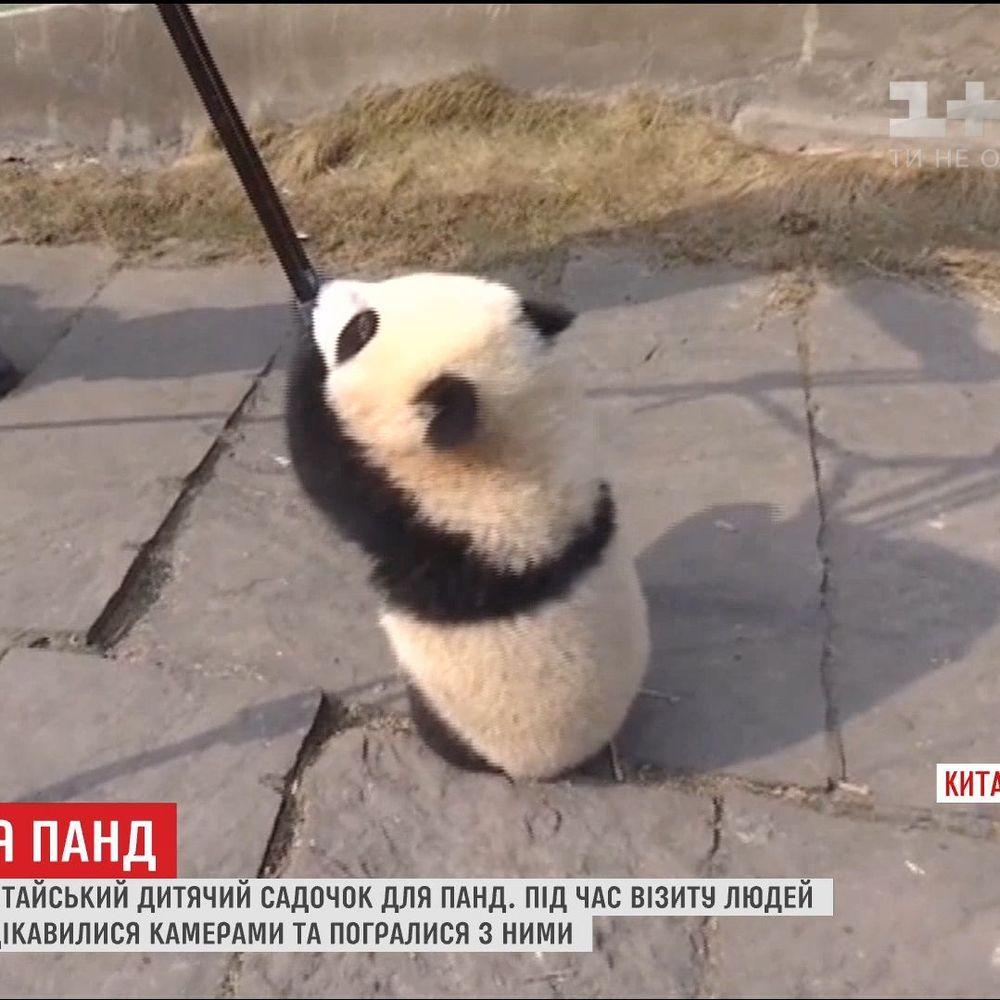 Журналістів вперше пустили до дитячого садочку для панд у Китаї (відео)