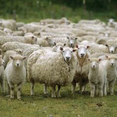 У США вівцю схрестили з людиною