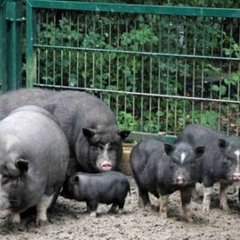 На Миколаївщині свині загризли чоловіка