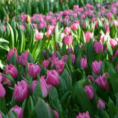 У Києві зацвіли 70 тисяч тюльпанів (фото)
