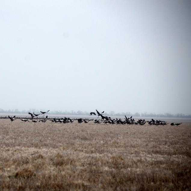 На Херсонщині через погодні умови застрягли 14 тисяч сірих журавлів