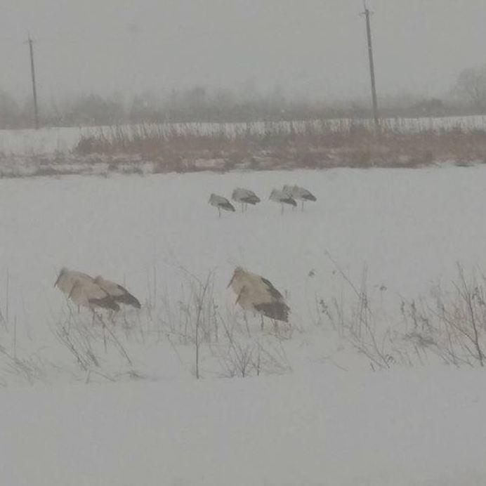 Лелеки, що уже повернулися в Україну, можуть загинути від холоду та голоду: як врятувати птахів