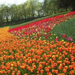 Стало відомо, коли у Києві почнуть висаджувати квіти