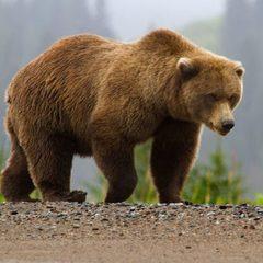 Жителям румунського села дозволили застрелити ведмедя, що навідувався у будинки