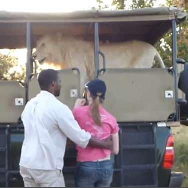 У ПАР лев застрибнув у джип туристів під час сафарі (відео)