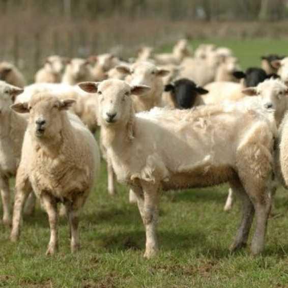У Києві відбудеться перший український аукціон племінних тварин