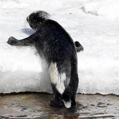 У Гельсінкі малюк-тюлень, який намагався вибратися на берег,  зібрав натовп глядачів (фото)