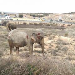 В Іспанії в ДТП потрапила вантажівка зі слонами, один з них загинув