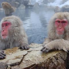 Вчені з'ясували, навіщо японські макаки приймають гарячі ванни