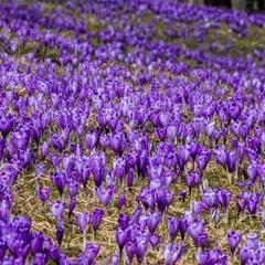 Фото дня: як на Закарпатті цвітуть крокуси (фото)