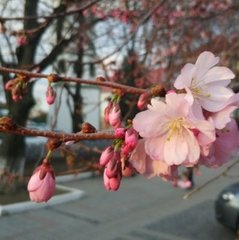У Мукачево зацвіла  сакура (фото)