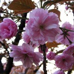 На Закарпатті попросили призначити додаткові потяги на час цвітіння сакури