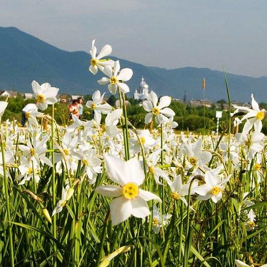 На Закарпатті починає цвісти Долина нарцисів (фото)